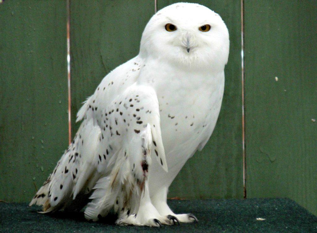 Snow Owl at VINS nature center