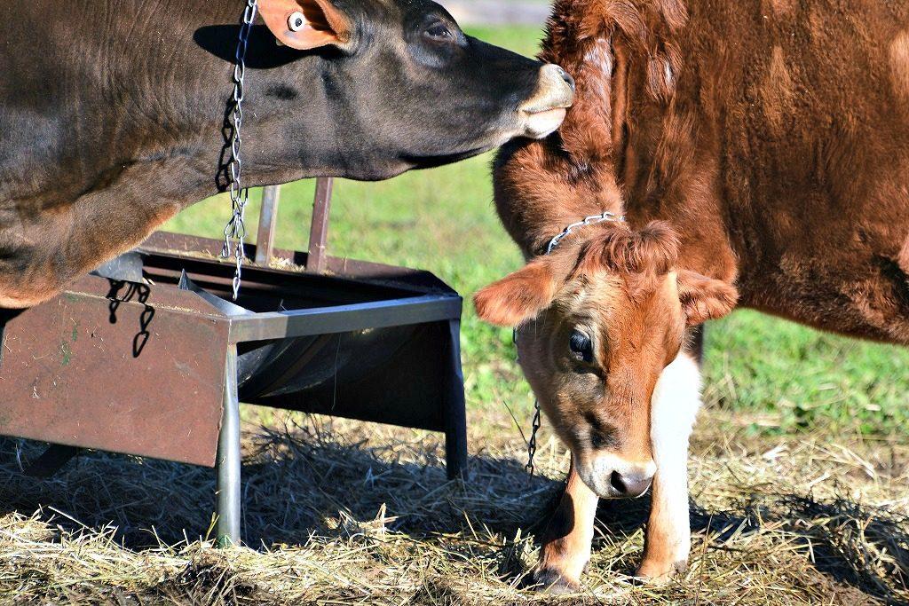 Billings Farm Cows in Woodstock, VT